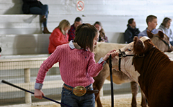 Young female with large belt buckle and pole in hand showing Hereford cow.
