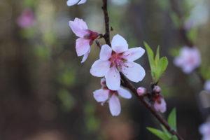 spring blooms on tree