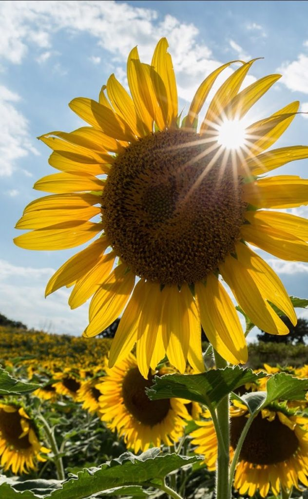 Sunflowers and Sunshine